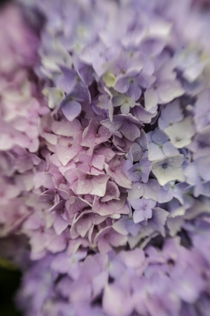 Abstract background of a blue hydrangea flower head showing the clusters of small pale blue flowers with shallow dof taken with a lensbaby Stock Photo - 15780057