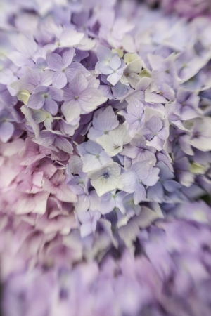 Abstract background of a blue hydrangea flower head showing the clusters of small pale blue flowers with shallow dof taken with a lensbaby Stock Photo - 15780069