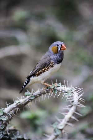 Colourful finch, a garden songbird, sitting perched on a thorny branch Stock Photo