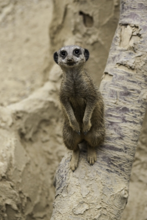 diurnal: Two meerkats, Suricata suricatta, a desert mongoose from Africa, standing up looking alertly at the camera