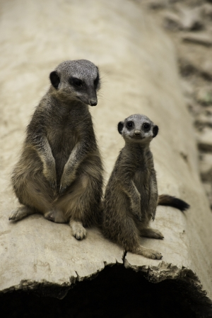 Two meerkats, Suricata suricatta, a desert mongoose from Africa, standing up looking alertly at the camera