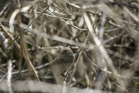 Little bird camouflaged in a bush by a tangle of twigs and its own drab colouration matching the vegetation Stock Photo