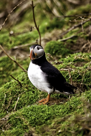 Single adult puffin standing on a grassy slope keeping a watchful eye on the camera