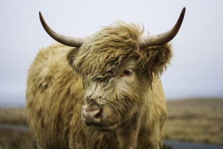 Head portait of a shaggy young Highland cow in open countryside Stock Photo