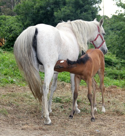 yegua: Dos caballos un potro marr�n de succi�n de una yegua blanca