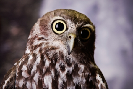wide eyed: Wide eyed owl staring at something Stock Photo