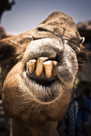 Humorous image of a camel with bad teeth in need of a visit to the dentist displaying them for the camera