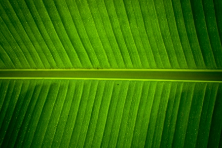 veining: Detail of a banana leaf showing the central stem and veining forming a natural green symmetrical pattern and texture