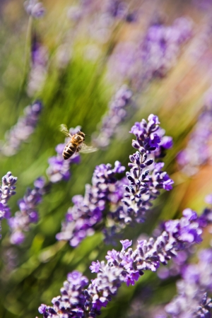Honey bee foraging for nectar and pollen on a beautiful purple lavender flower in Tasmania photo