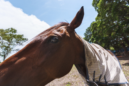face cloth: Wide angle shot of the face of a brown horse with a plaid cloth in the neck with a lot of trees behind