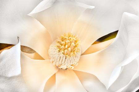 stigma: Macro of a yellow color stigma with carpels and stamen sees clearly in the middle of white thin petals like shovels. The magnolia flower has large slices bloomed