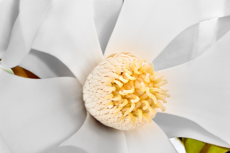 stigma: Magnolia flower stigma has lots more yellow color Pollen with carpel on the stamen. Perianth made with sepals and petals. The background can be seen through the flower and blurred