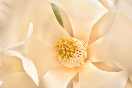 carpels: Thin and large white petals of the magnolia flower bloomed up and to outside let the stigma shows and spread carpels and stamens. Sepals of the flower work as perianth Stock Photo