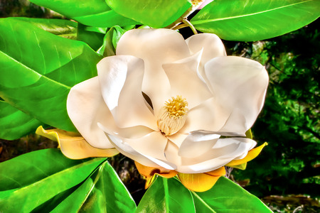 stigma: White Magnolia flower with large petals around yellow stigma on the end of a tree branch, there are green leaves below the flower with orange sepal at a forest. Creamy slices spread around and blossom up