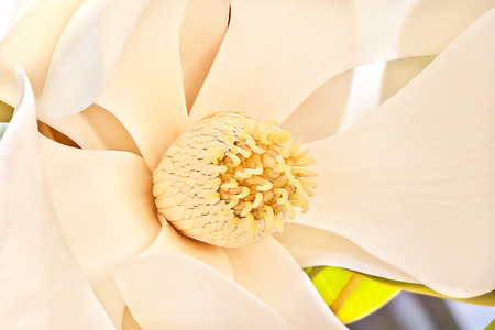 perianth: Thin and large white petals of the magnolia flower bloomed up and to outside let the stigma shows and spread carpels and stamens. Sepals of the flower work as perianth Stock Photo