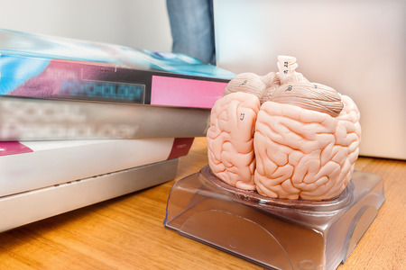 artificial model: Artificial model of a human brain with marked features on the wooden table in a labor school