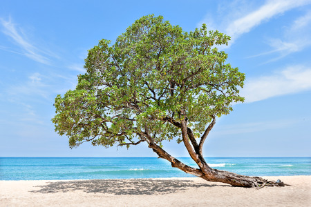 bend over: Huge and green tree at the beach side bend over to the sand under blue sky which looks like a horizon Stock Photo