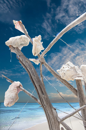 Conch tree near the blue sea water coast with the view of blue sky and white clouds, a couple of white conches remain on the top of wooden branches Stock Photo