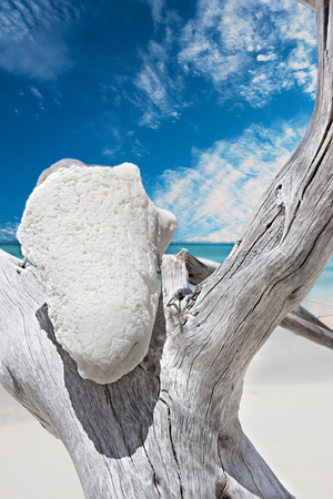White conch on the  gray color old tree at the sea coast with blue color sky and white clouds, close up view of a detailed white conch tree Stock Photo