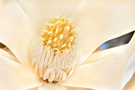 Magnolia flower stigma has lots more yellow color Pollen with carpel on the stamen. Perianth made with sepals and petals. The background can be seen through the flower and blurred
