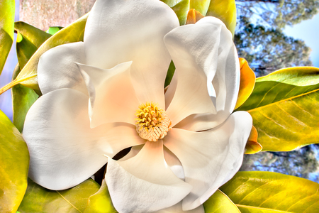 White flower with large petals called magnolia blossomed showing beautiful shaped stigma of the middle, there are green leaves can be seen close to the flower. The background is blurred with trees and blue sky Imagens