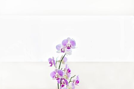 Purple color orchid flowers in a living room close up in blurred background with white walls and windows that streams the sunlight 写真素材