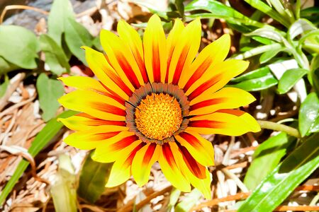 Sunflower with long red and yellow petals spread in a forest, the ground is blurred and filled with green leaves and grasses.