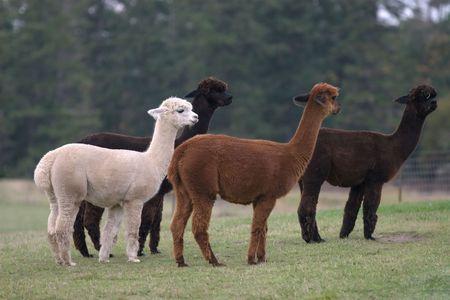 Alpacas at a ranch on Friday Harbor, WA.  Stock Photo