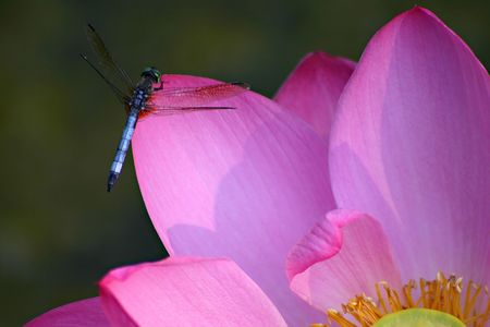 A wonderful shot of a dragonfly posing on a water lily. Stock Photo