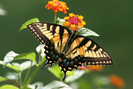 A vibrant and powerful shot of a Tiger Swallowtail Butterfly poised on Lantana in full bloom. Stock Photo - 2511001