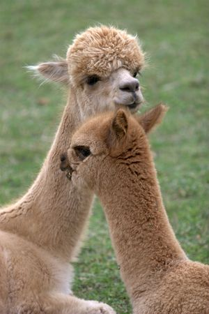 Alpacas at a ranch on Friday Harbor, WA.  Stock Photo