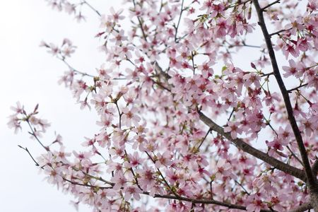 Closeup of a pink cherry tree in full blossom.