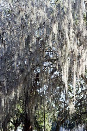bayou swamp: Closeup of spanish moss on a tree in Savannah, Georgia.