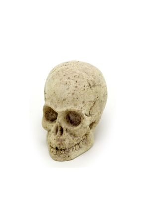 Isolated shot of a model skull against a white background.