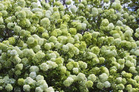 A close-up shot of a blooming snowball tree. Reklamní fotografie