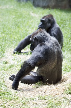 A nice shot of a pair of Gorillas with thoughtfulbored postures. Stock Photo