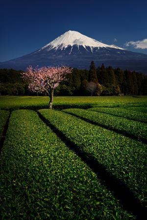 梅の花と緑の茶と富士