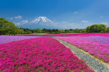 ピンクの苔や芝桜と富士