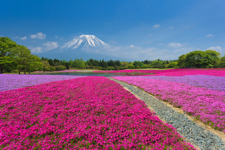japan sky: Fuji with Pink Moss or Shibazakura