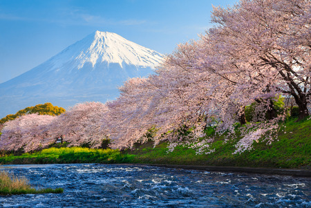 Fuji and Sakura at river in the morning Stock Photo