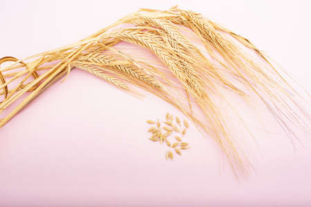 Dried wheat cluster on a pink background.