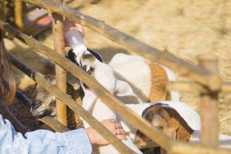 Asian girl feeding goat on farm Stock Photo