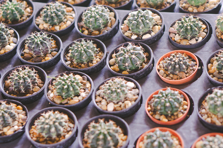 Cactus in the pot. Standard-Bild