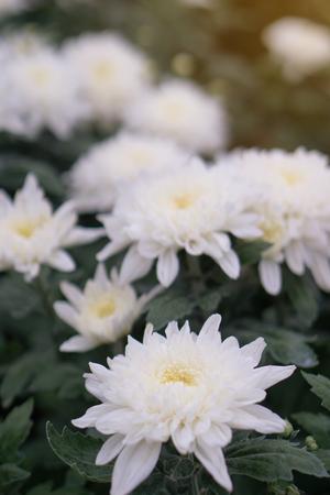 Chrysanthemum in the garden.