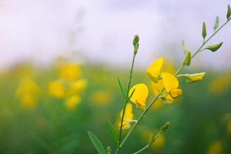 Yellow flower garden. Standard-Bild