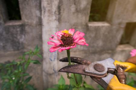 Women cutting flowers.