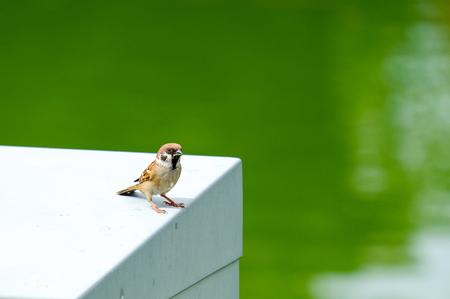 Passer montanus bird on white table