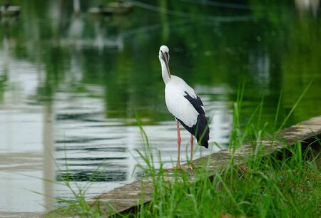Open-billed stork in the park. Stock Photo