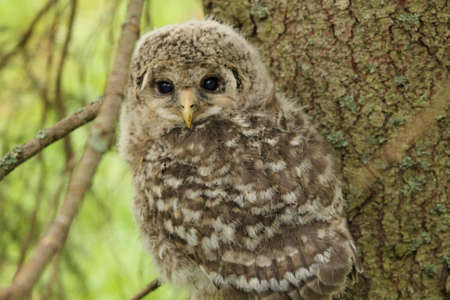 ural owl: Cute Ural Owls cub. This cub left its nest and was sitting on a branch Stock Photo