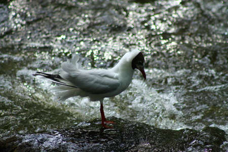 bowing head: The Black-headed Gulls respecting bow. This Black-headed Gull salutes the river and bows to it Stock Photo
